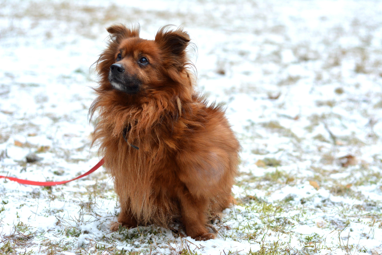Pies Bazyl